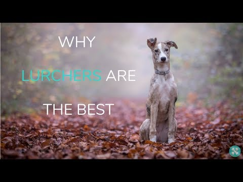 Why Lurchers Are The Best