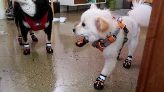 Why We Put Shoes on Dogs | WahlieTV EP510
