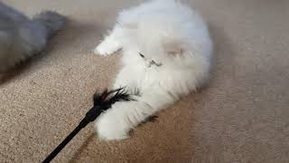 Persian Kittens   From birth to new homes VLOG #14