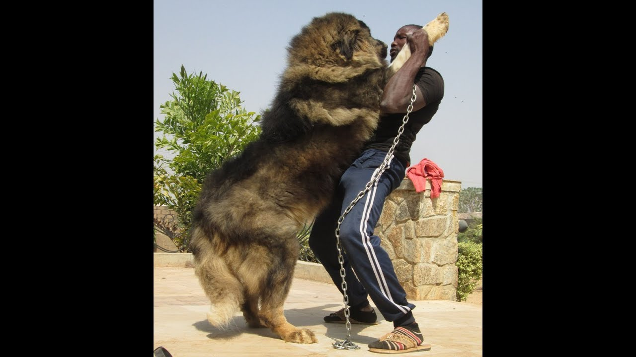 Biggest Caucasian Shepherd Dogs At Petlove Kennels Nigeria