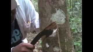 Rubber Tree in Borneo (Kalimantan) - Where does rubber come from?