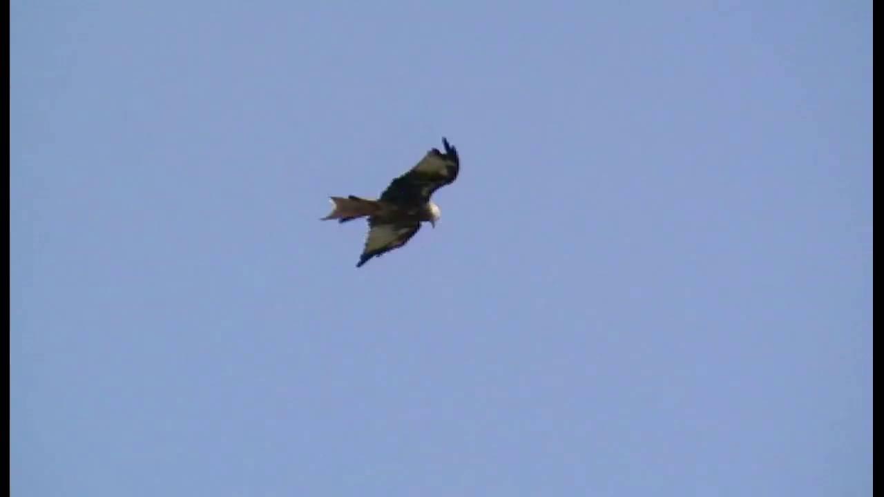 Polowanie Ptaków Drapieżnych Duży Ptak Szybuje Po Niebie I