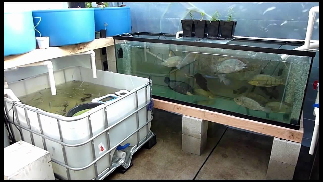 backyard aquaponic fish hatchery youtube