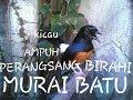 Gambar cover KICAU MURAI BATU AMPUH MERANGSANG BIRAHI