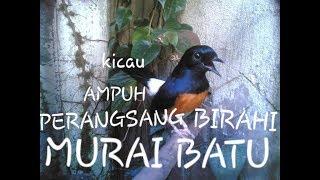 KICAU MURAI BATU AMPUH MERANGSANG BIRAHI
