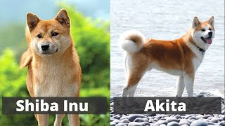 Shiba Inu vs Akita | Detailed Comparison between the two breeds |