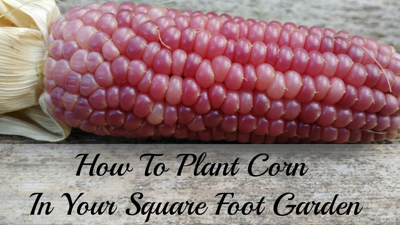 How To Plant Corn In Your Square Foot Garden