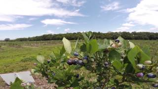 Organic Blueberry Picking in New Jersey
