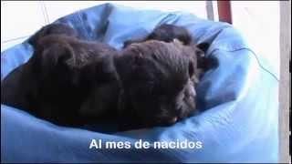 Cinco perritos Terrier Escocés nacieron en Guadalajara.