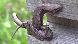 Любовь или драка - живородящие ящерицы