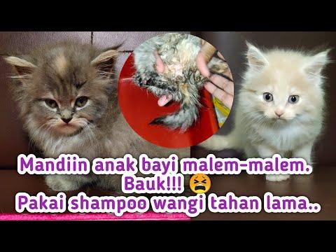 Shampo Kucing Yang Bagus Dan Cara Memandikan Anak Kucing Dimalam Hari. Tetap Sehat !