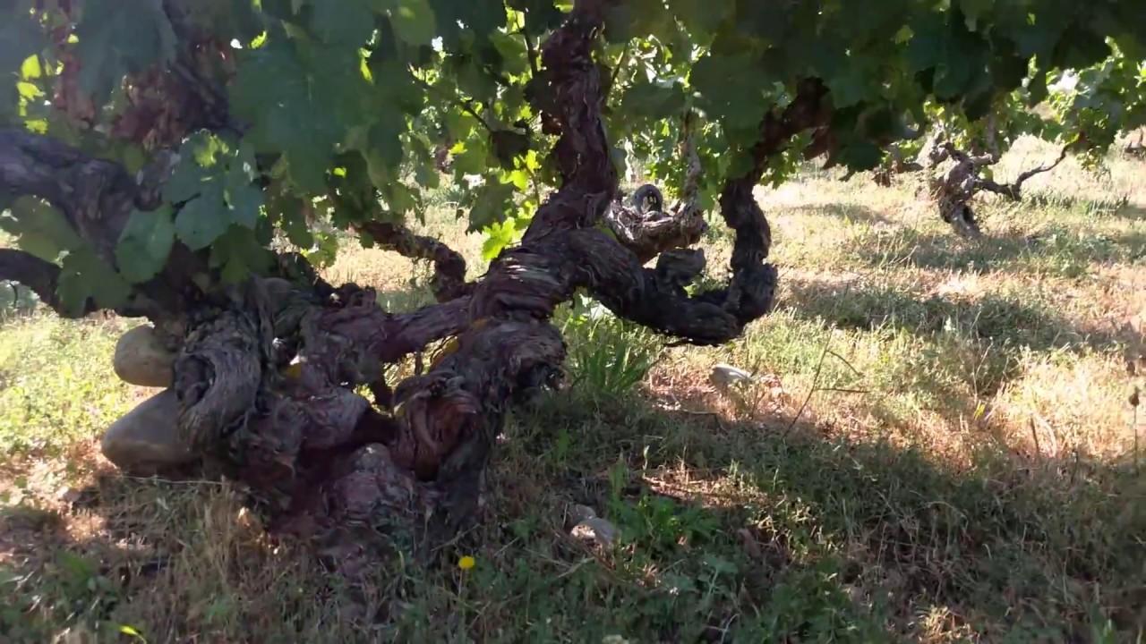 Resultado de imagen de garnacha centenaria en la viña