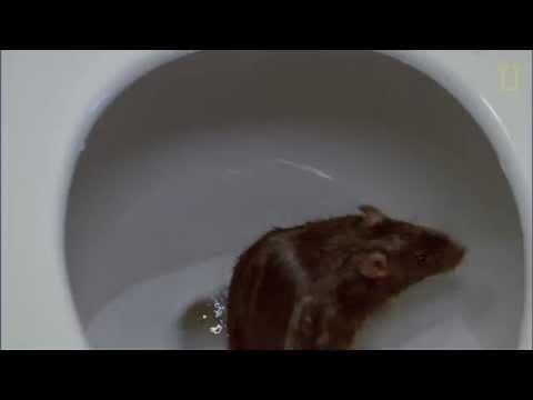 Ratos - Veja