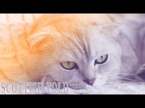 Ideal Companion: Scottish Fold | Cat Breeding Videos