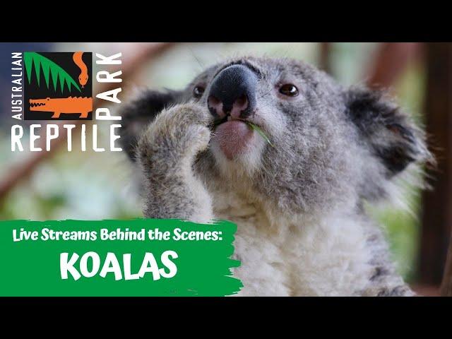 LIVE: RANGER MICK WITH KOALAS   AUSTRALIAN REPTILE PARK