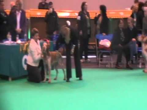Crufts 2011 Bracco Italiano - Rossi competing in Open Dog