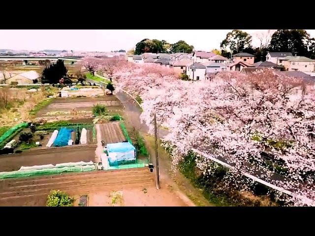 The Longest Cherry Blossom Path