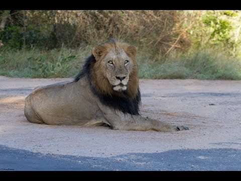 18 Lions Crossing Road - 10th April 2013 - Latest Sightings