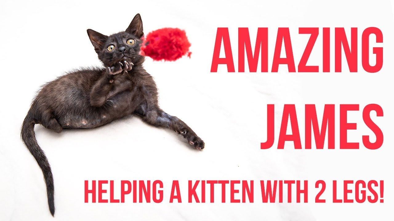 Helping a Kitten With No Back Legs (+ Tips for Mobility Challenged Kittens!)