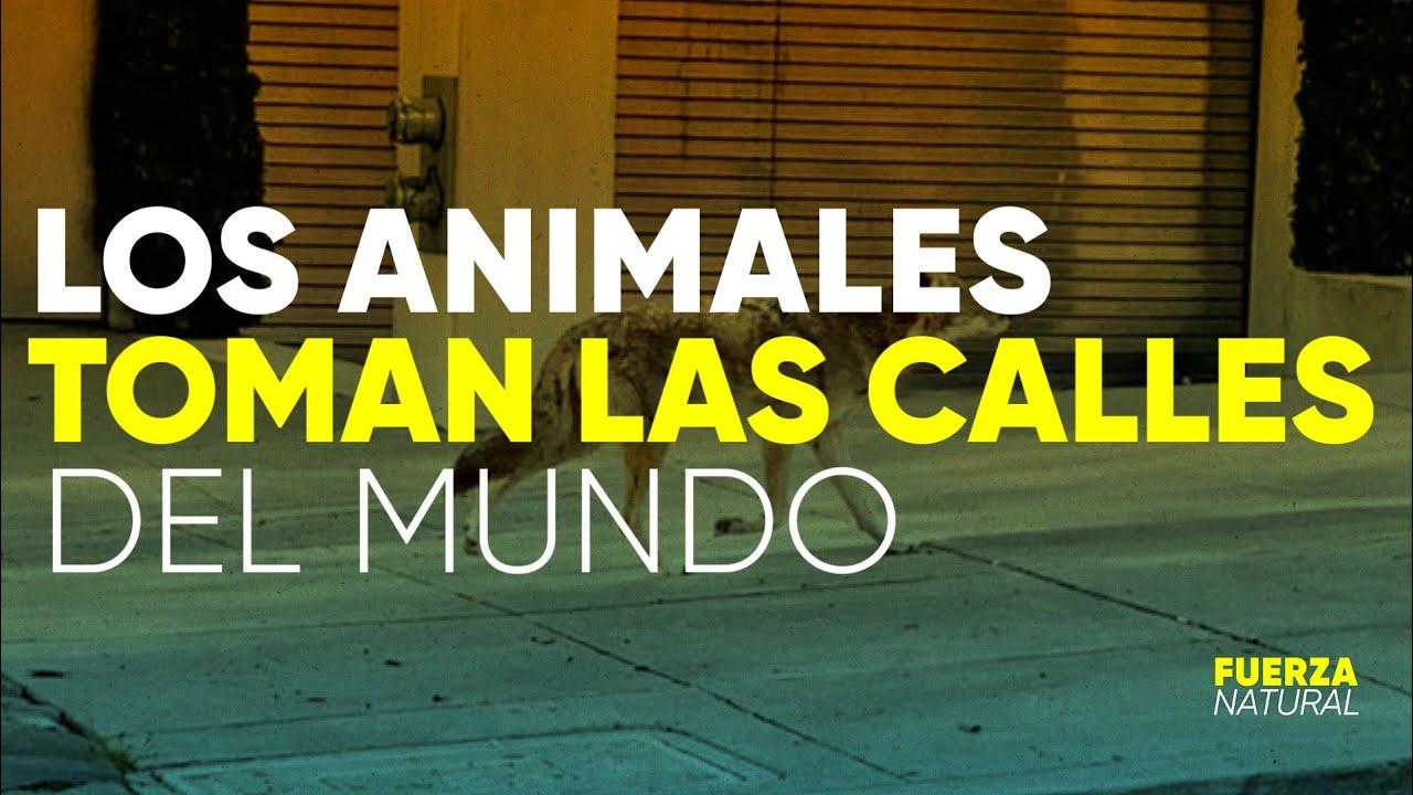 ANIMALES TOMAN LAS CALLES: el lado B de la CUARENTENA por CORONAVIRUS - #FuerzaNatural