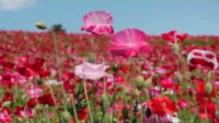 TOKYO  JAPAN 国営昭和記念公園・花の丘のポピー poppy Flower garden 花の名所 花見頃 東京観光 thumbnail