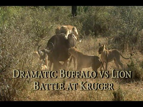 Dramatic Buffalo vs Lion Battle in Kruger - Kings Camp