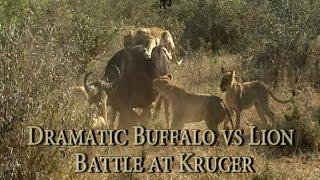Dramatic Buffalo vs Lion Battle at Kruger - Kings Camp