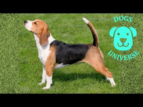 BEAGLE ► Characteristics and temperament 🐶