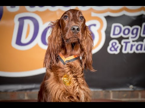 Uisce - Red Setter - 4 Weeks Residential Dog Training