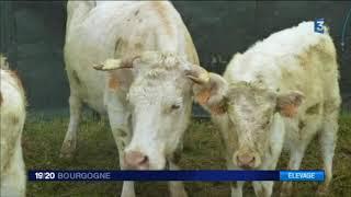 Ligny-le-Châtel : pourquoi un troupeau de bovins a été saisi par l'Etat ?