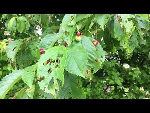 Wild Cherry (Prunus Avium) - Leaves & Fruit - May 2018