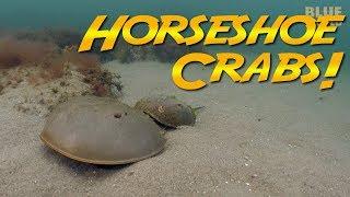 Horseshoe Crabs   JONATHAN BIRD'S BLUE WORLD