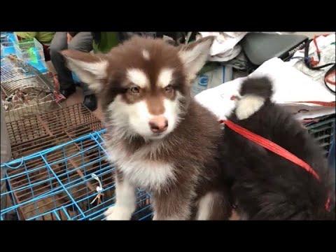 Người dân đổ xô đi mua Chó Mèo Cảnh Đẹp về chơi tết /Chợ Hàng Hải Phòng