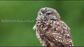 Burrowing Owls of Florida
