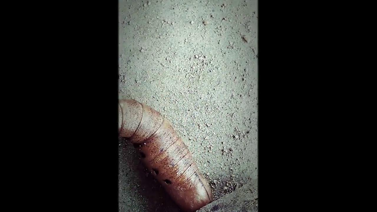 ants pee Do