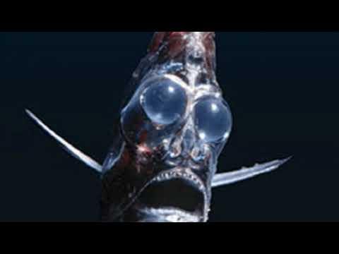 Deep Sea Hatchetfish Facts  Interesting Facts About Deep Sea Hatchetfish