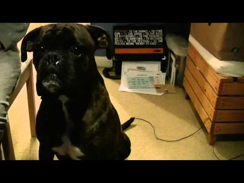 Buster the craziest boxer dog in the world.