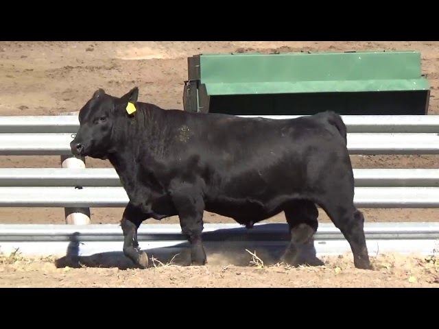 Connealy Angus Lot 144