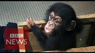 Baby chimp trafficking: Your phone is a reporter's phone [watch on mobile phone] - BBC News