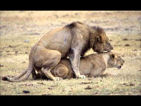 Animals Mating not for kids YouTube