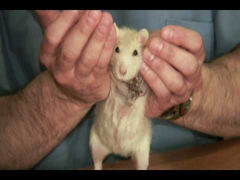 Domestic Rat Mammary Tumor Removal You