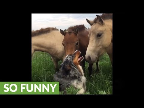 Herding dog spends quality time with horses