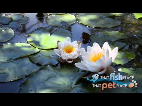 Pond & Water Garden Spot - That Fish Place - That Pet Place Retail Store - May 2015