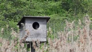 Barn Owl In Nest Box At Big John's Pond At The Jamaica Bay Wildlife Refuge