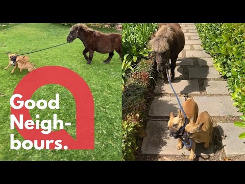 A pair of dogs are filmed taking their owner's horse for a WALK 🐶🐴 | SWNS