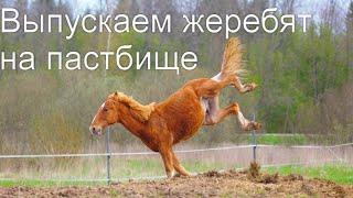 Выпускаем молодых лошадей, жеребят на пастбище.