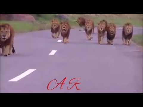 Lion attitude WhatsApp status