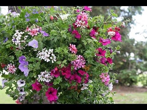 fleur d hiver pour jardini re file pink cyclamen 4200359270 jpg cr er une belle jardini re. Black Bedroom Furniture Sets. Home Design Ideas