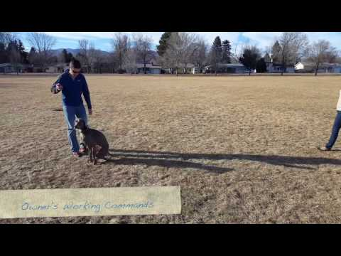 1-Year-Old Weimaraner Zamp Before and After Video. Best dog trainer's in Colorado Springs.