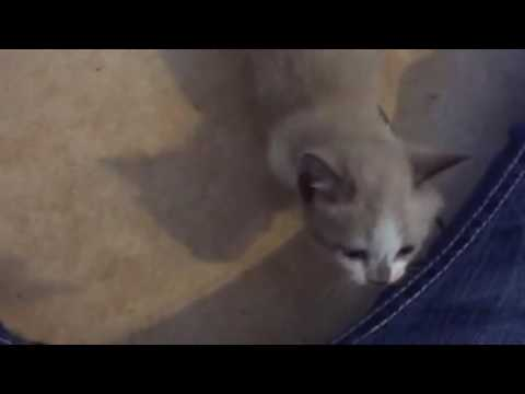 Adorable Short Legged bobtail MunchiBob Kitten